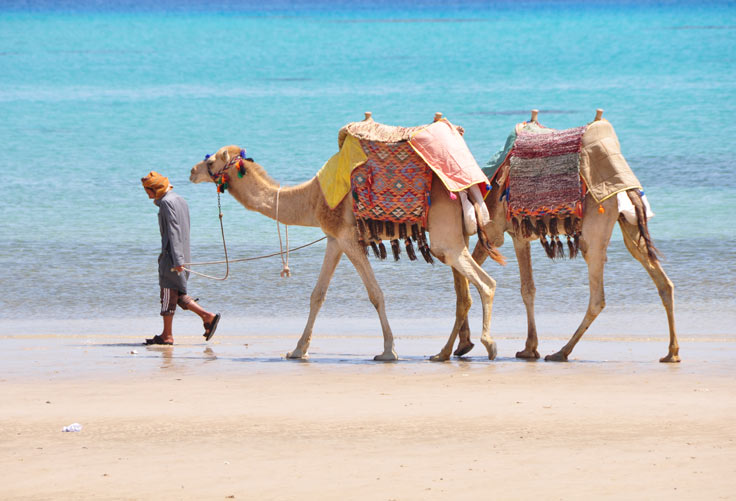 Camels roaming across a beach in Egypt